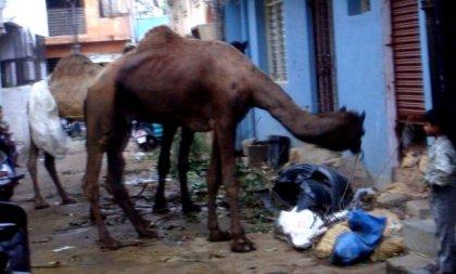 camelus
